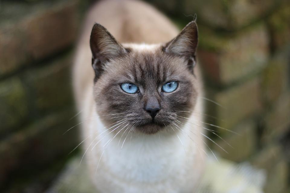 Siamese Cat Names